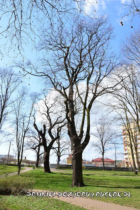 Park nad Strumykiem w Głogowie - pomnikowe dęby
