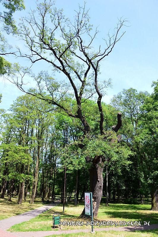 Park nad Strumykiem w Głogowie - pomnikowy dąb Kacper latem