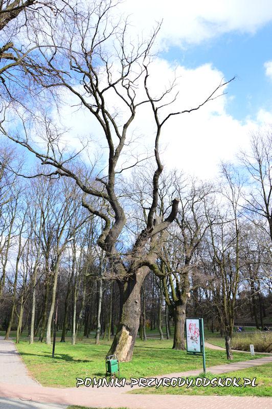 Park nad Strumykiem w Głogowie - pomnikowy dąb Kacper zimą