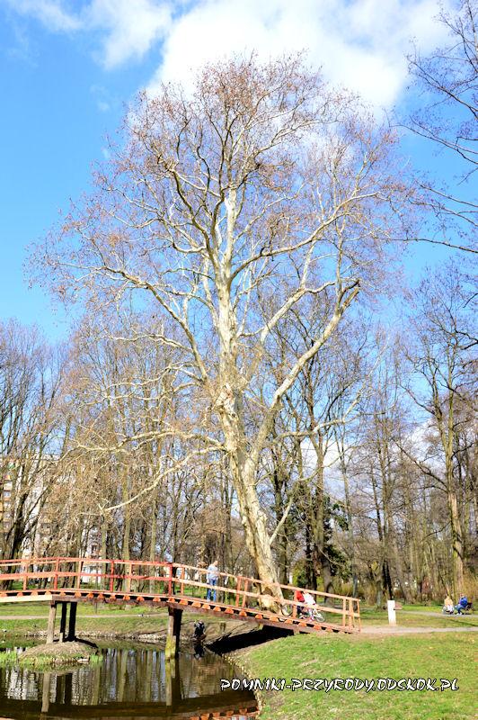 Park nad Strumykiem w Głogowie - pomnikowy platan