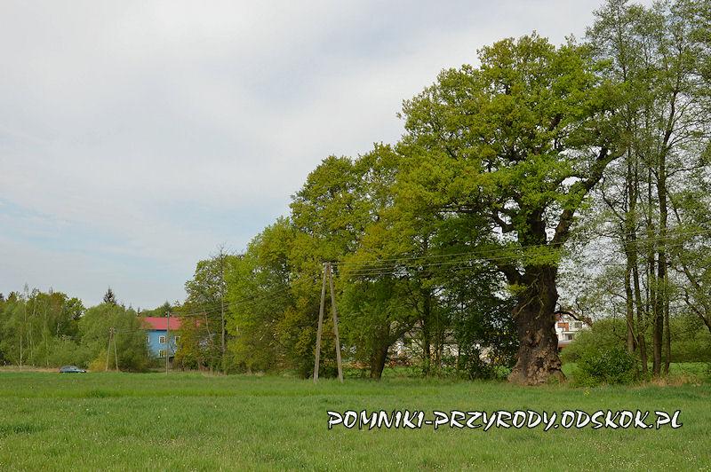 Piotrowice - pomnikowy dąb Młynarz