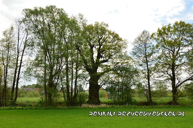 dąb Młynarz z Piotrowic - widok od strony północnej