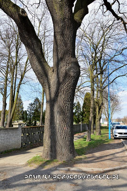 pień pomnikowego dębu rosnącego przed wejściem na cmentarz w Głogowie