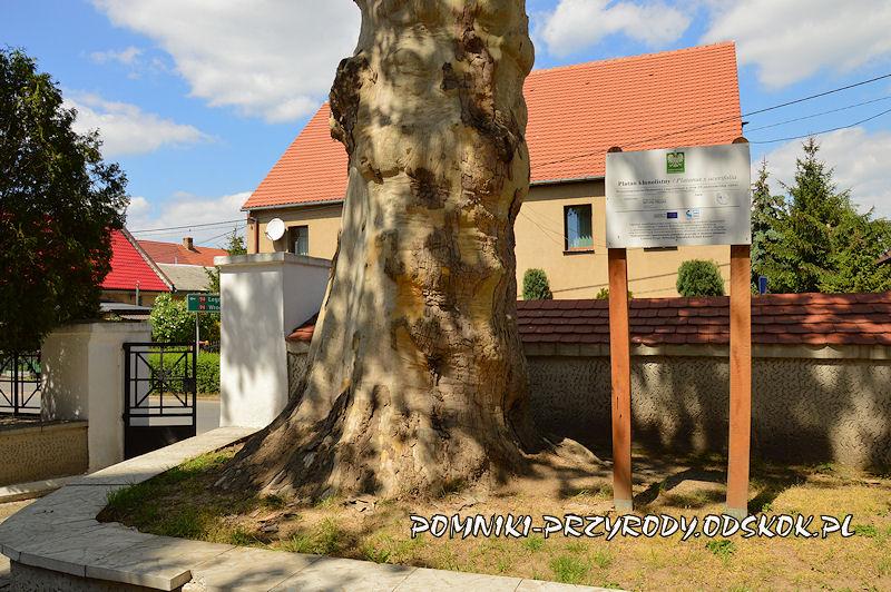 pień pomnikowego platana z Kunic