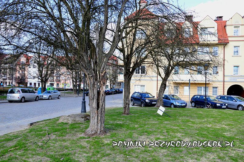 pomnikowe głogi przy ul. Piekarskiej w Głogowie