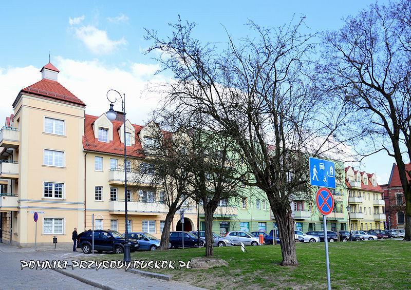 pomnikowe głogi w Głogowie