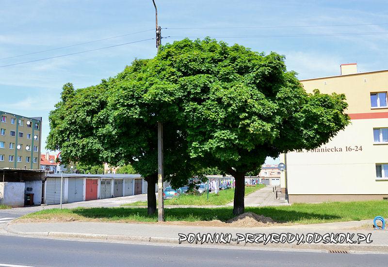 pomnikowe klony rosnące przy ul. Kościuszki w Głogowie