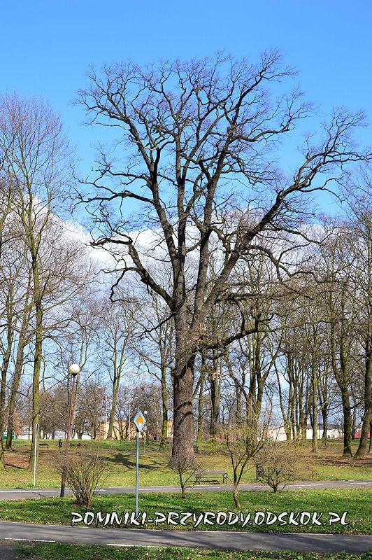 pomnikowy dąb z Parku Leśnego w Głogowie