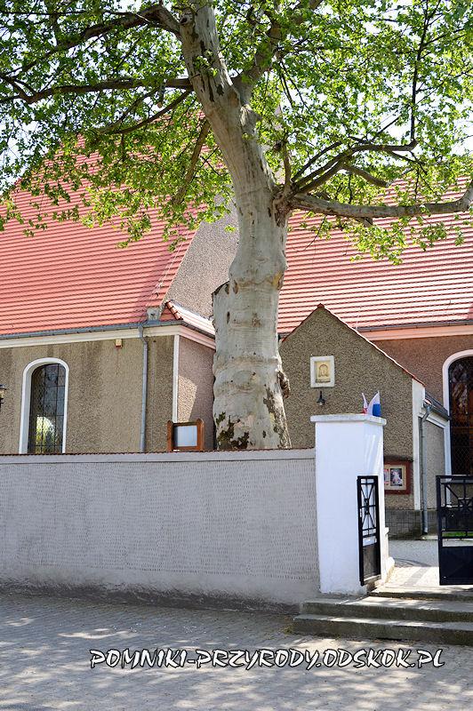 pomnikowy platan przy bramie wejściowej do kościoła w Kunicach