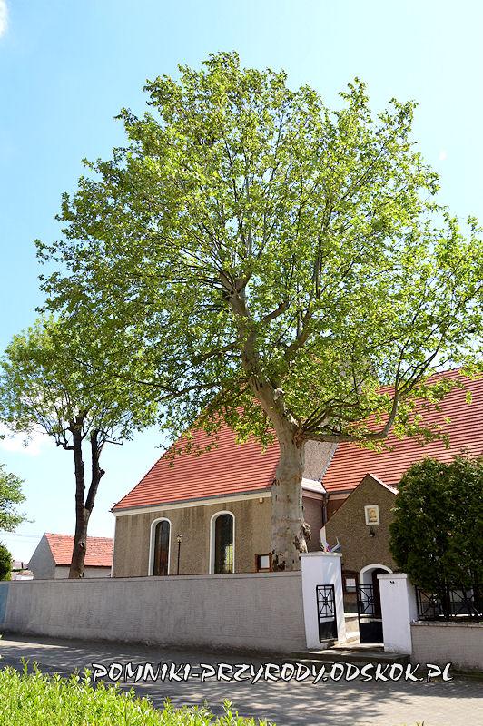 pomnikowy platan przy kościele w Kunicach