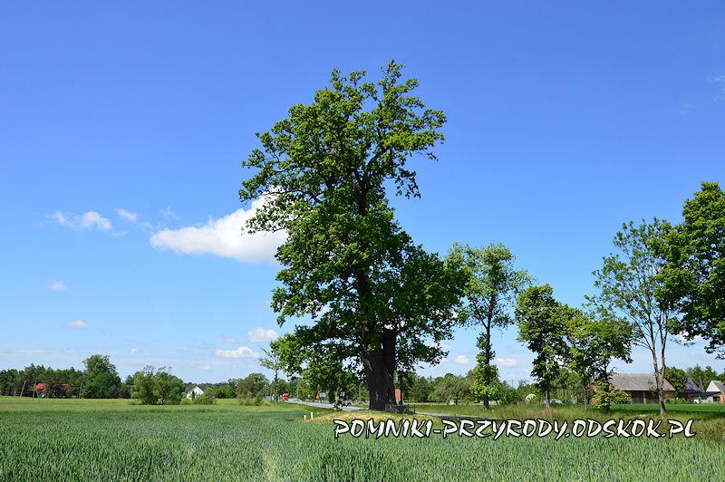 Duczów Wielki - pomnikowy dąb na wschodnim krańcu wsi