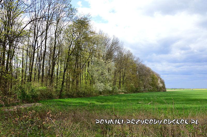 Polkowskie - fragment lasu z pomnikowymi czereśniami