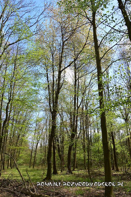 Polkowskie - las z okazami czereśni ptasiej
