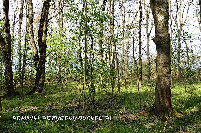 Polkowskie - skraj lasu z egzemplarzami dzikiej czereśni