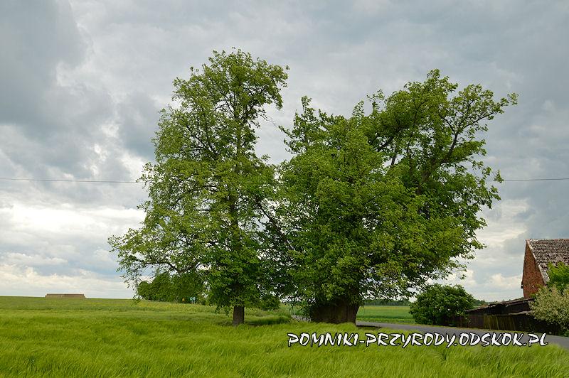 Proślice - pomnikowa lipa od strony pola