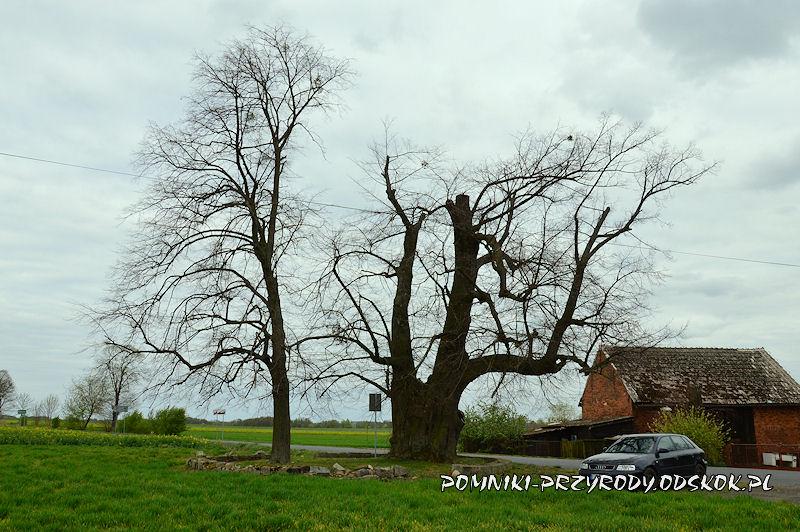 Proślice - pomnikowa lipa widziana od strony pola