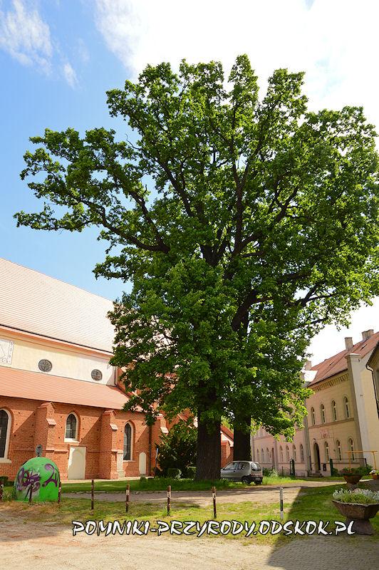 pomnikowe dęby przed kościołem św. Katarzyny w Bierutowie