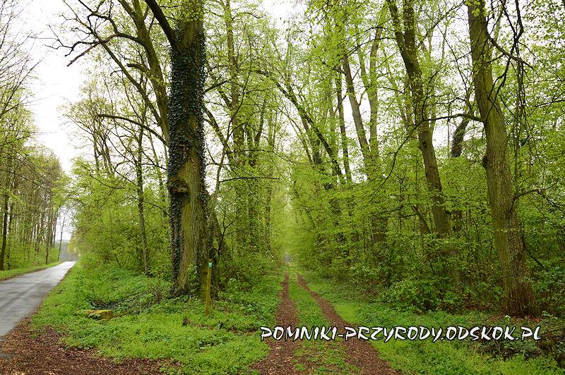 12. Gręboszów - początek leśnej alei lipowej