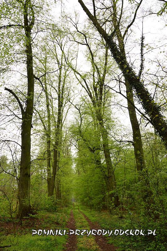 14. Początkowy fragment leśnej alei lipowej w Gręboszowie