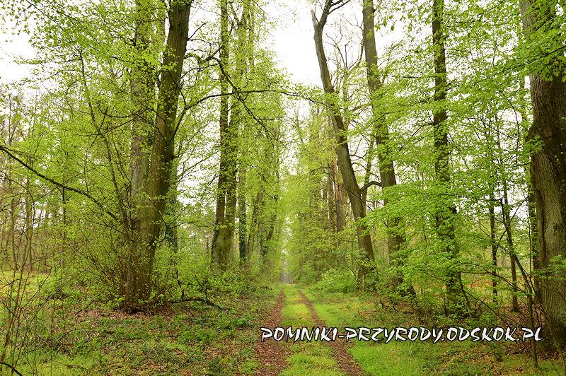 15. Gręboszów - leśna aleja lipowa
