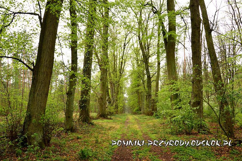 16. Gręboszów - leśna aleja lipowa