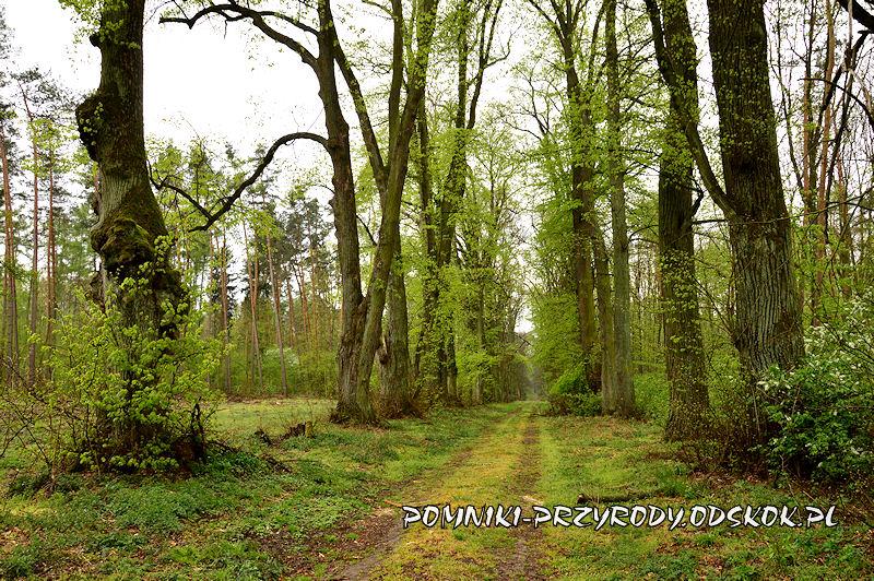 17. Gręboszów - leśna aleja lipowa