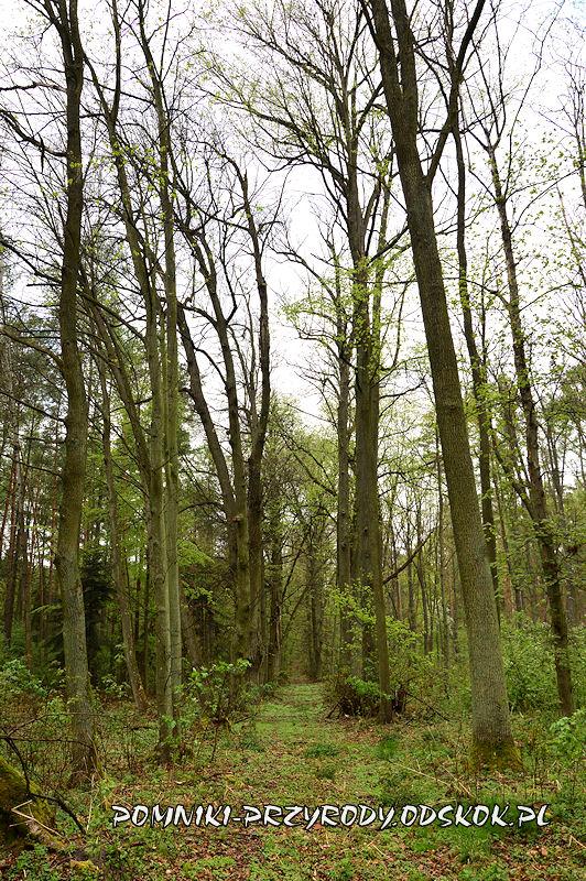 22. Gręboszów - końcowy fragment leśnej alei lipowej