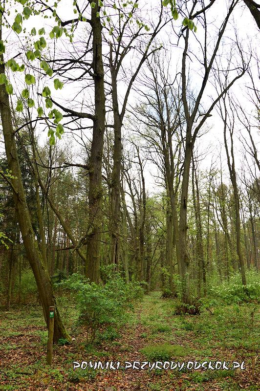 23. Gręboszów - koniec leśnej alei lipowej