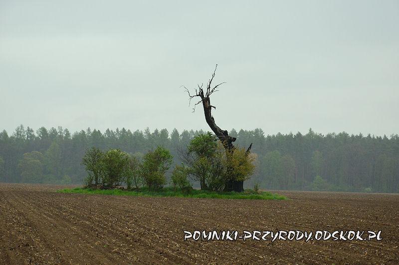 Gręboszów - pomnikowy dąb na środku pola uprawnego