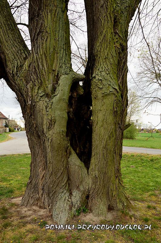 Jakubowice - dziupla w pomnikowej lipie