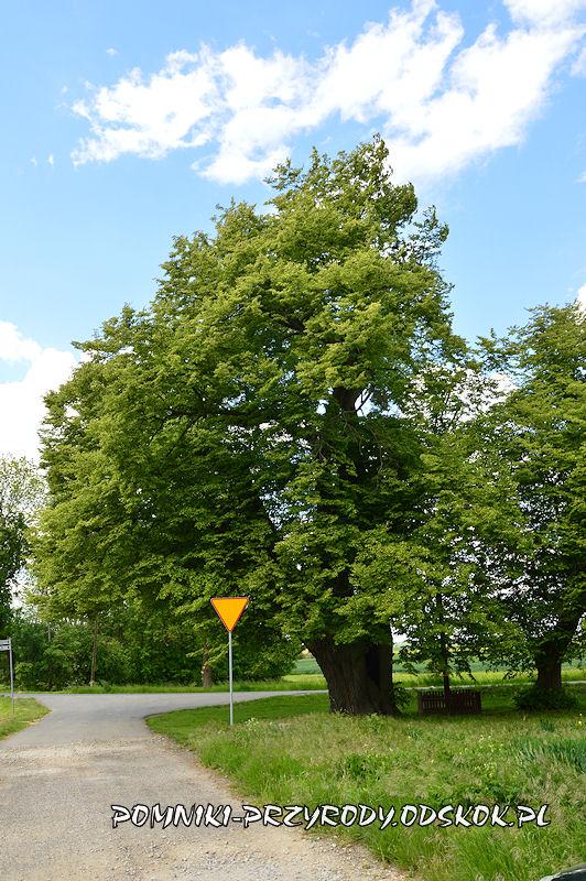 Jakubowice - pomnikowa lipa drobnolistna