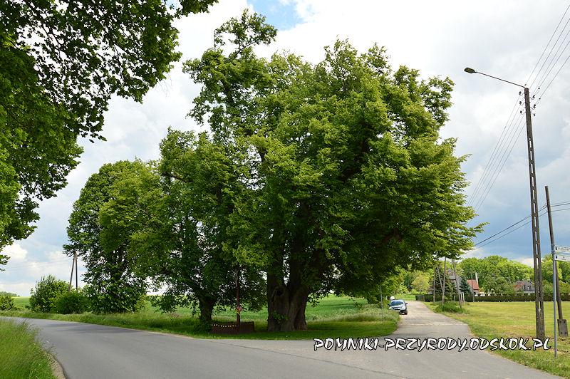 Jakubowice - pomnikowa lipa latem