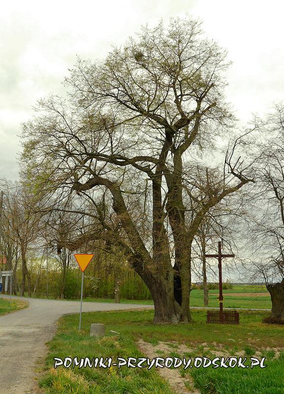 Jakubowice - pomnikowa lipa przy skrzyżowaniu drogi do Byczyny