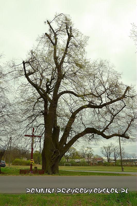 Jakubowice - pomnikowa lipa w kwietniu 2020 r.