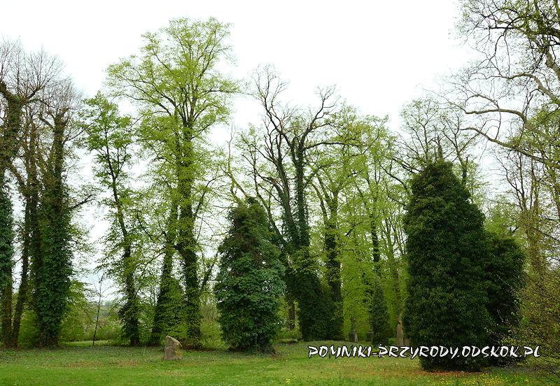 cmentarz z pomnikowymi drzewami w Gręboszowie