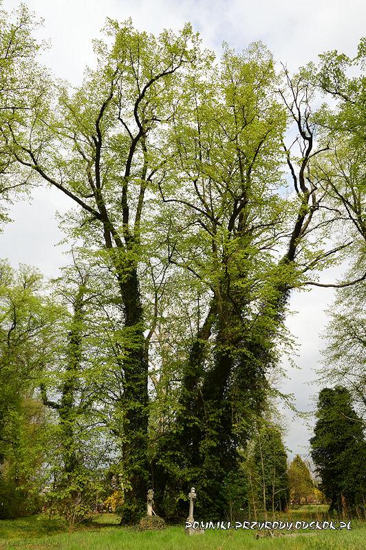 para pomnikowych drzew na cmentarzu w Gręboszowie