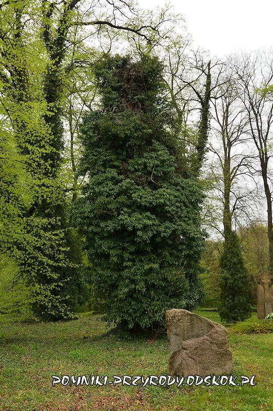 pień pokryty bluszczem - cmentarz w Gręboszowie