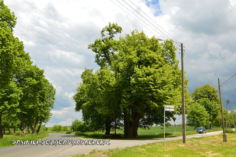pomnikowa lipa w Jakubowicach