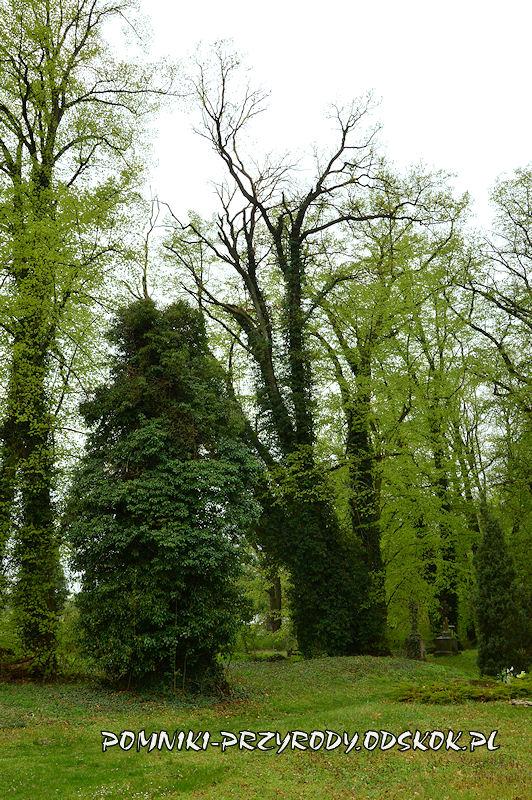 pomnikowe drzewa na cmentarzu w Gręboszowie