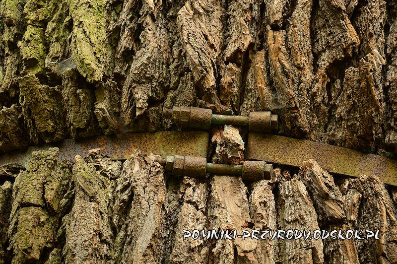 śruby ściągające obręcz na pniu pomnikowej lipy
