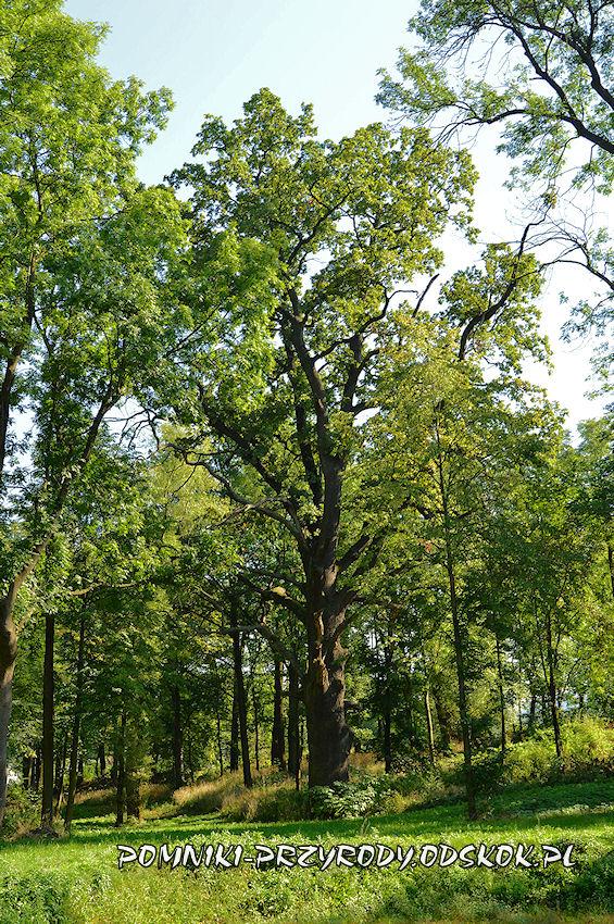 Gorzanów - pomnikowy dąb rosnący w południowej części parku