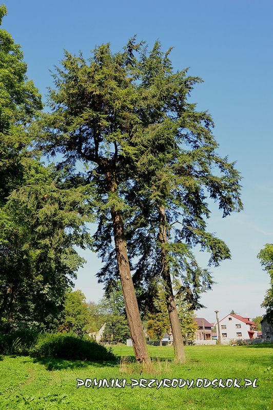 park w Gorzanowie - choiny kanadyjskie