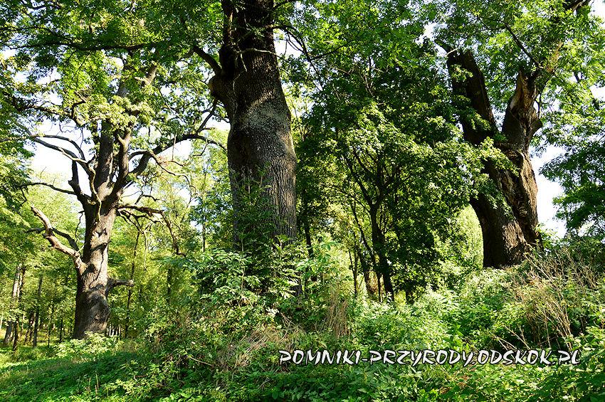 park w Gorzanowie - okazałe jesiony obok pomnikowego dębu