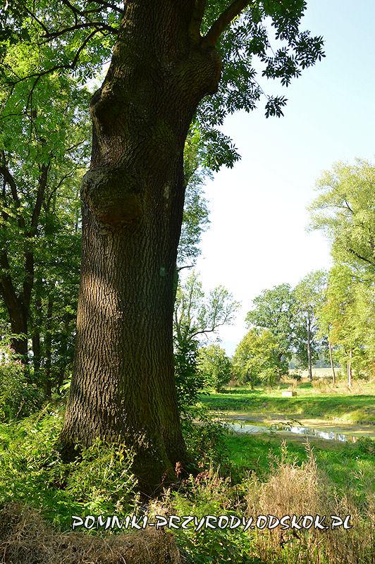 park w Gorzanowie - pień pomnikowego dębu III