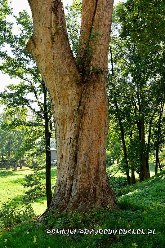 park w Gorzanowie - pień pomnikowego jawora