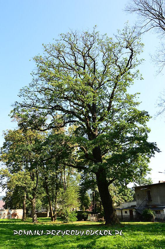 park w Gorzanowie - pomnikowy dąb II