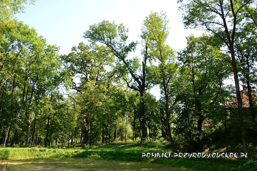 park w Gorzanowie - pomnikowy dąb III