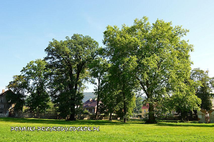 park w Gorzanowie - pomnikowy dąb i platan klonolistny