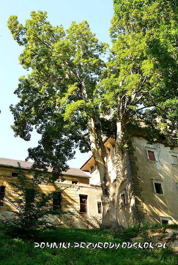 park w Gorzanowie - pomnikowy jawor