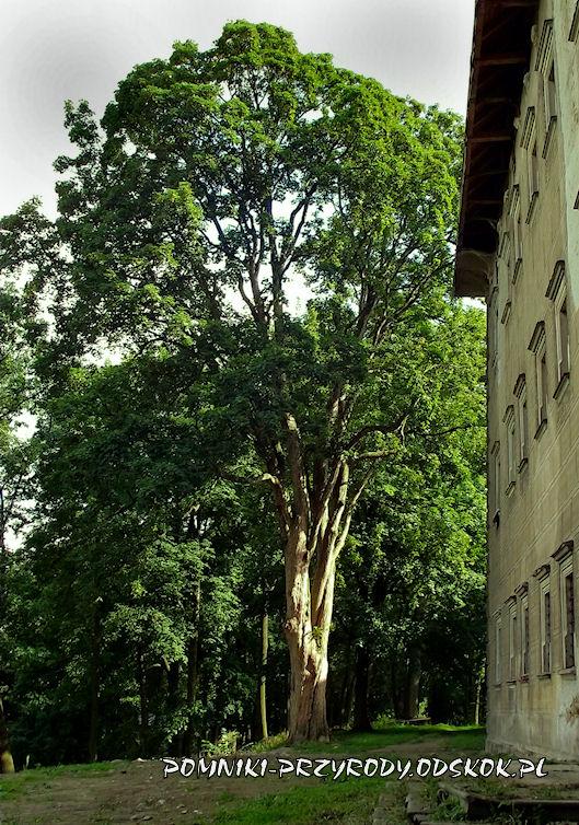 park w Gorzanowie - pomnikowy klon jawor